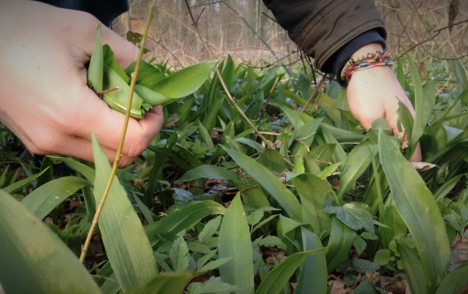Wild Garlic Pesto Recipe