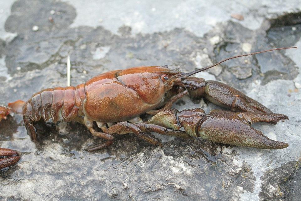 Native Crayfish