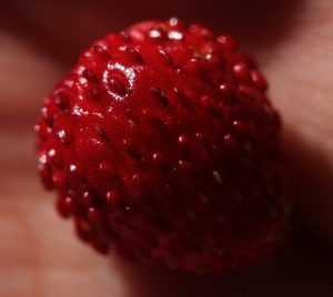 Close up of a Wild Strawberry